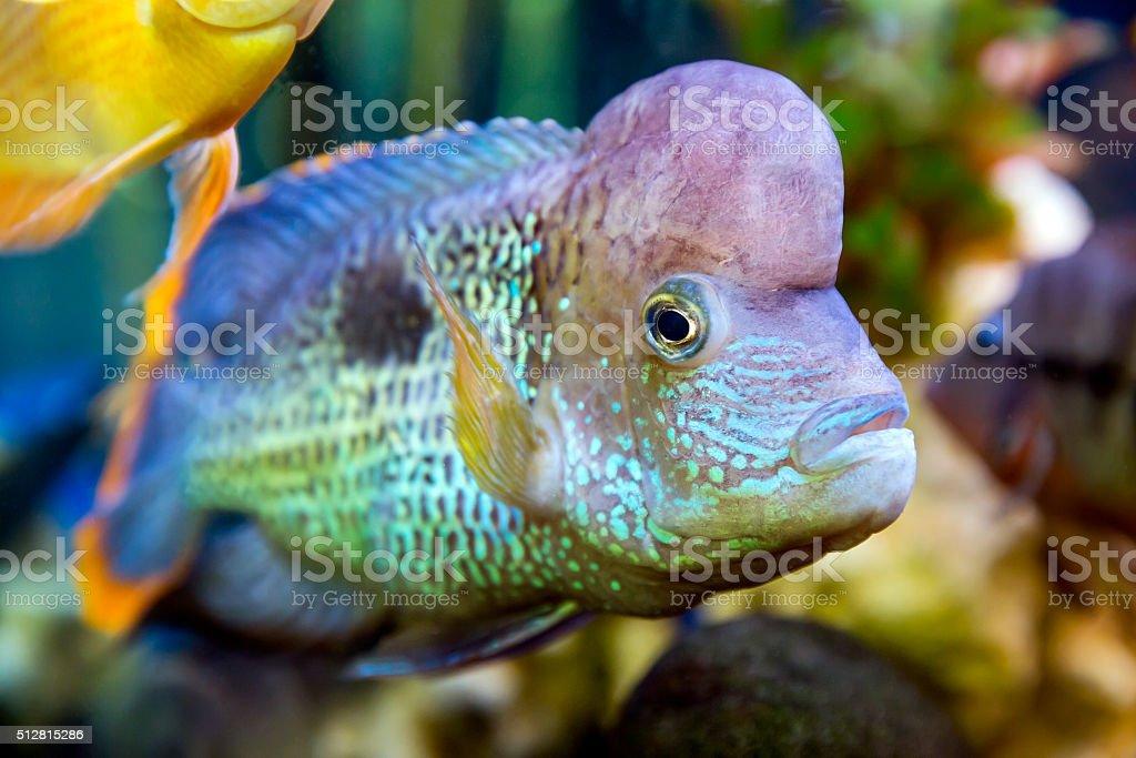 Cichlid swimming in the aquarium stock photo
