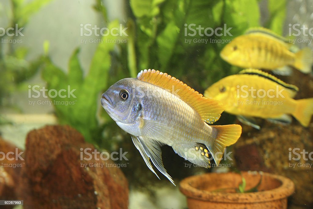 Cichlid tropical fish stock photo