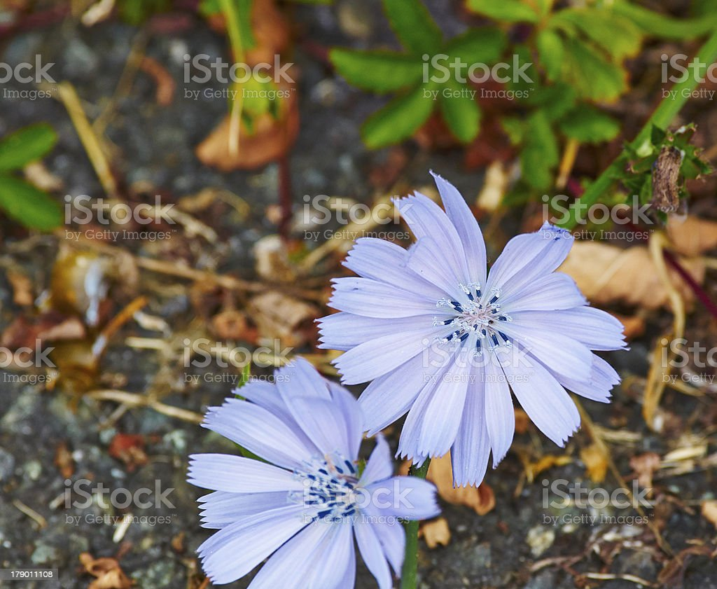 cichorium intybus royalty-free stock photo