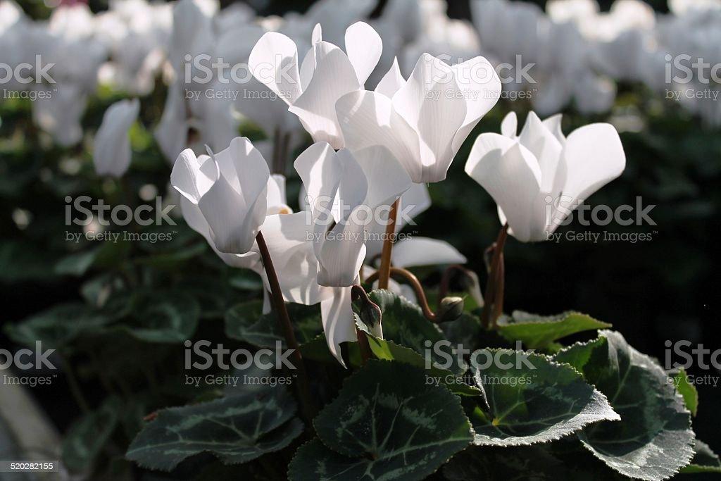 ciclamini dai petali bianchi stock photo