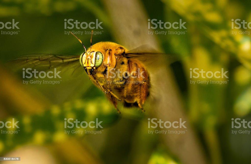 Cigarron, giant bee, Dominica stock photo