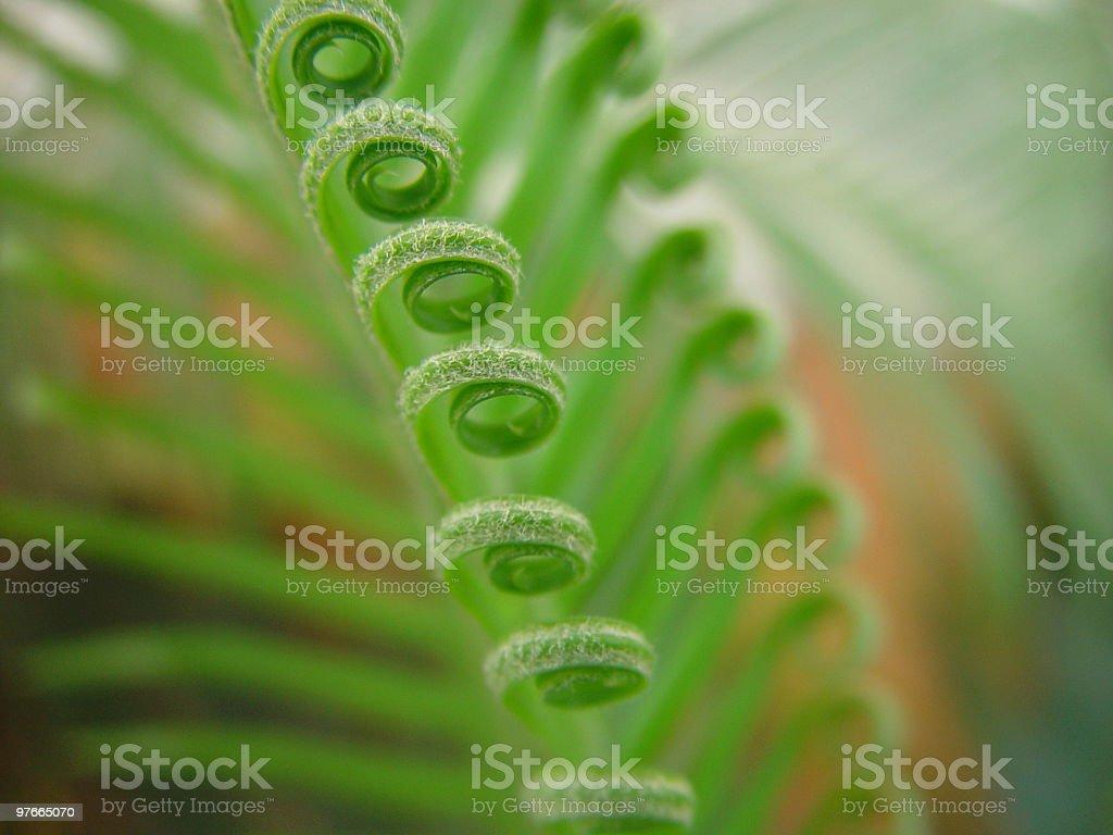 Cigas opening Leaf royalty-free stock photo