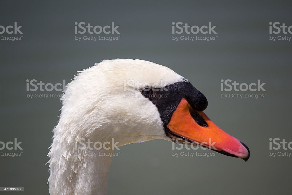 Cigno - Swan royalty-free stock photo