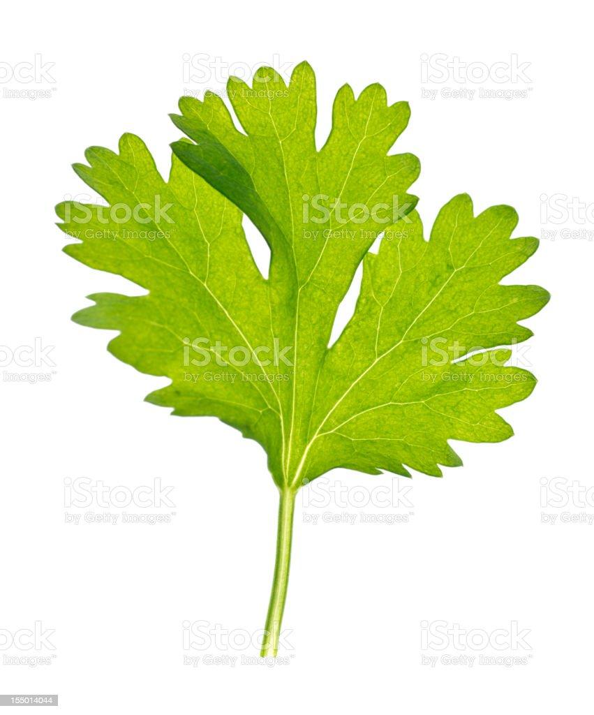 Cilantro Leaf stock photo