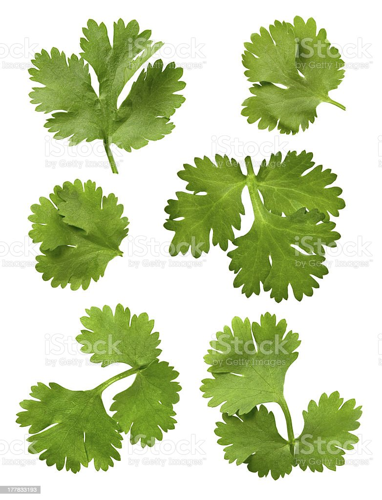 Cilantro Leaves Isolated stock photo