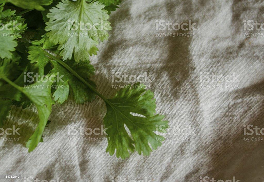 cilantro on cotton background royalty-free stock photo