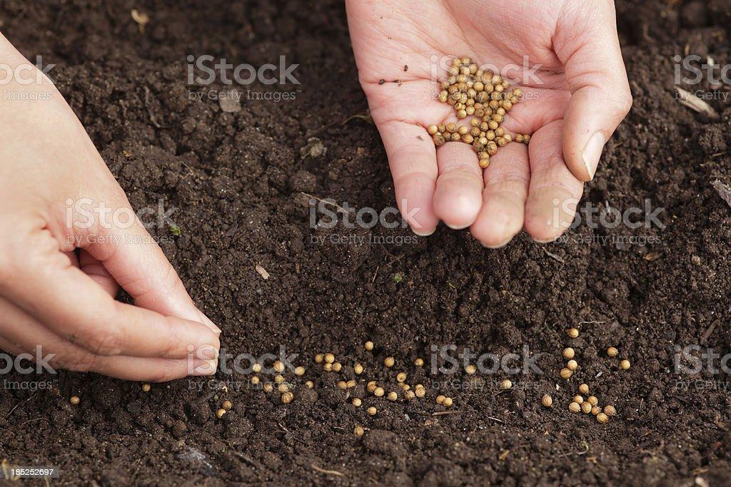 Cilantro seeds royalty-free stock photo