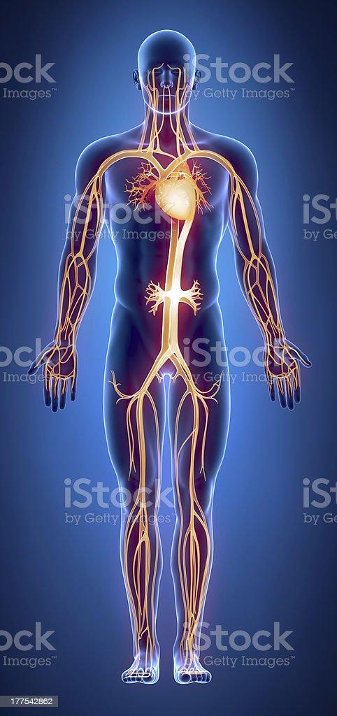 Cilculatory system anatomy royalty-free stock photo