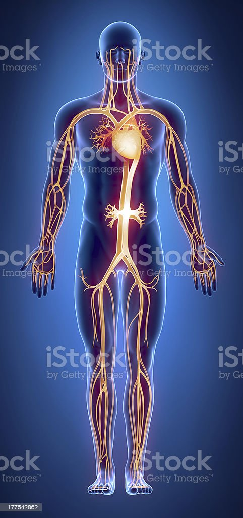 Cilculatory system anatomy stock photo