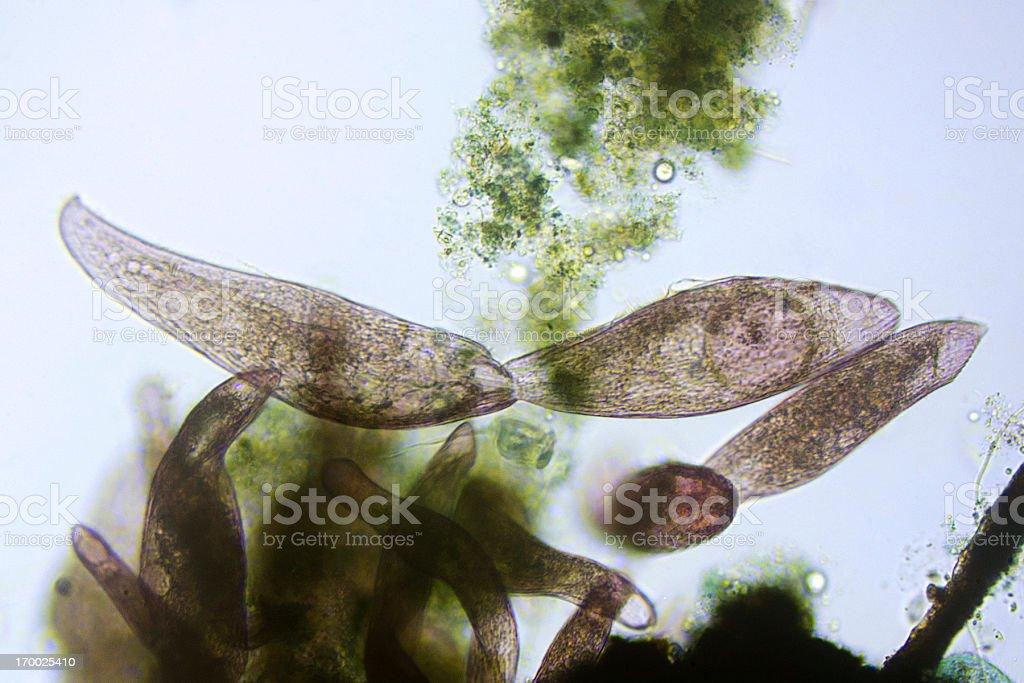 ciliate Blepharisma americanum stock photo
