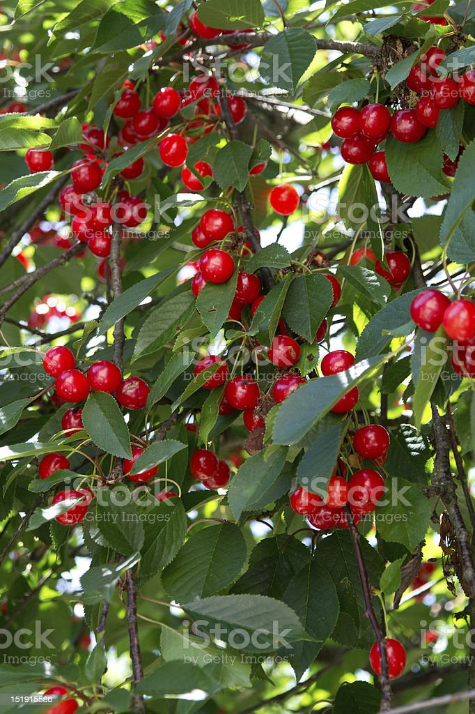 ciliege - Cherries royalty-free stock photo