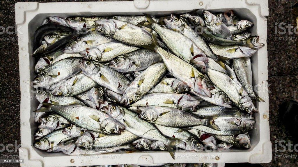 Cinekop / Sarikanat fish with ice in styrofoam box. stock photo