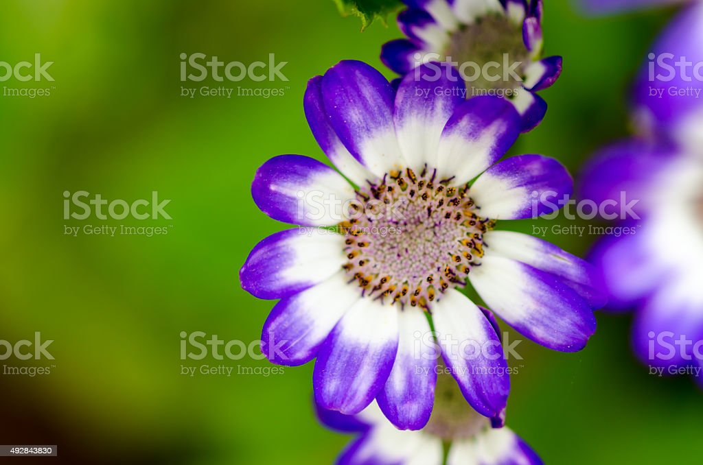 Cineraria Flower (Senecio Cruentus) stock photo