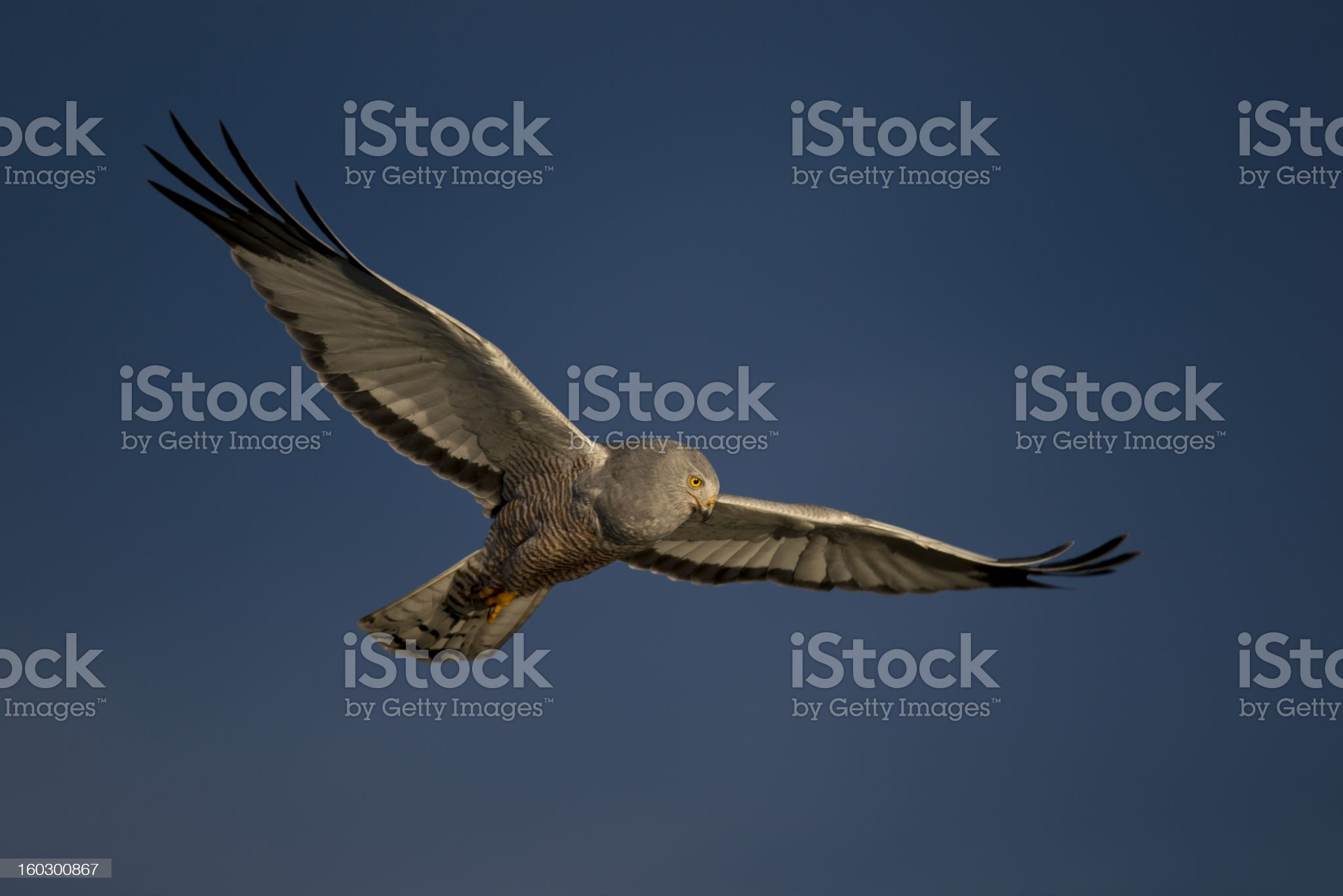 Cinereous Harrier flying royalty-free stock photo
