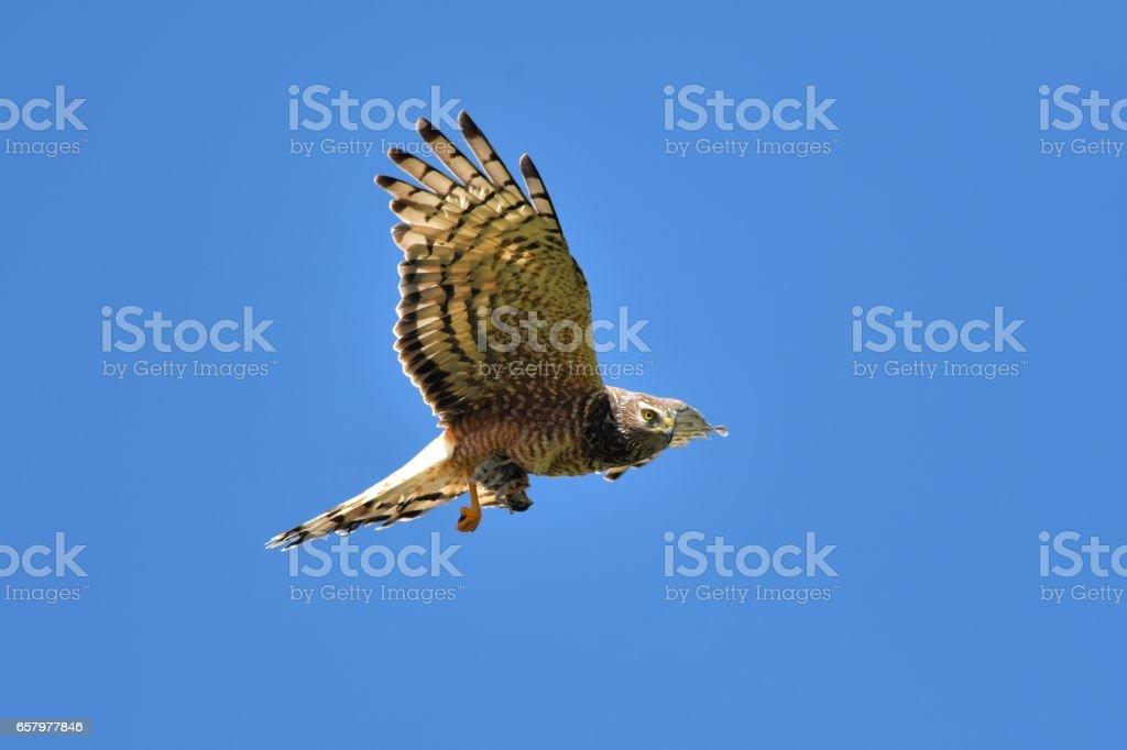 Cinereous Harrier stock photo
