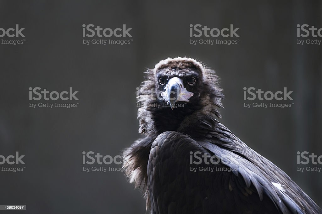 Cinereous Vulture in a backlight stock photo