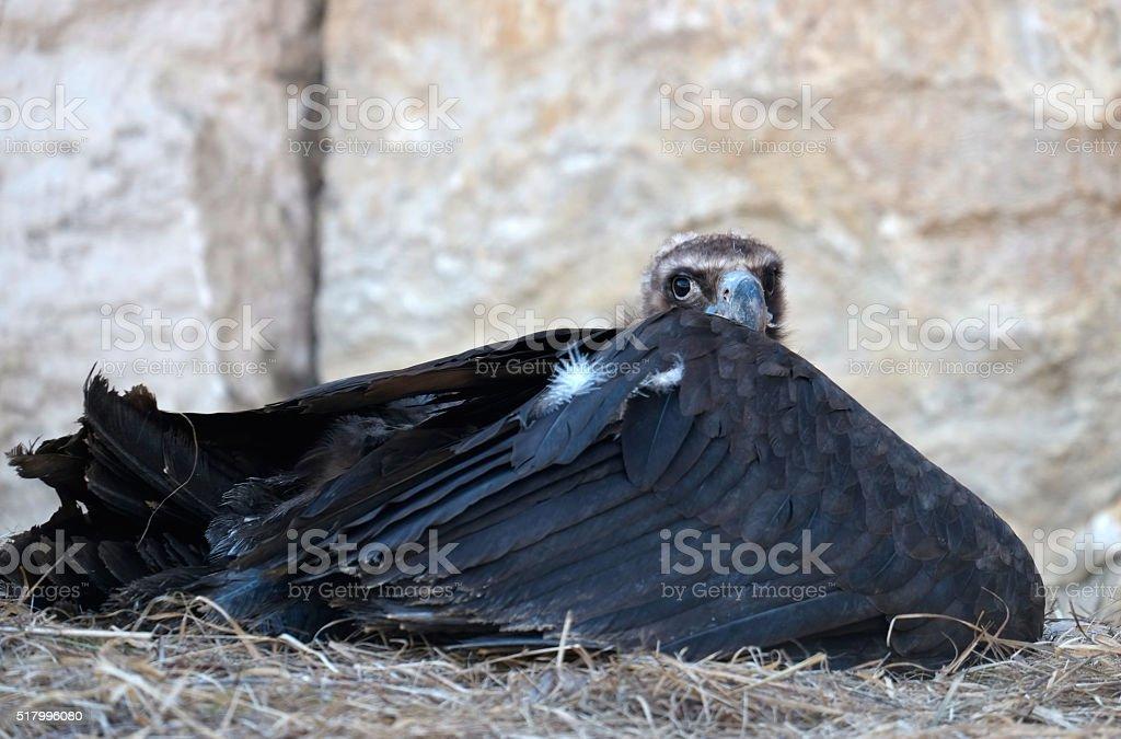 Cinereous vulture of european alps stock photo