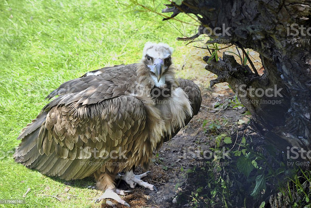 Cinereous Vulture royalty-free stock photo