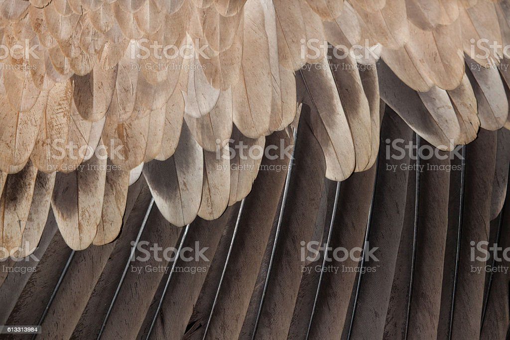 Cinereous vulture (Aegypius monachus). Plumage texture stock photo