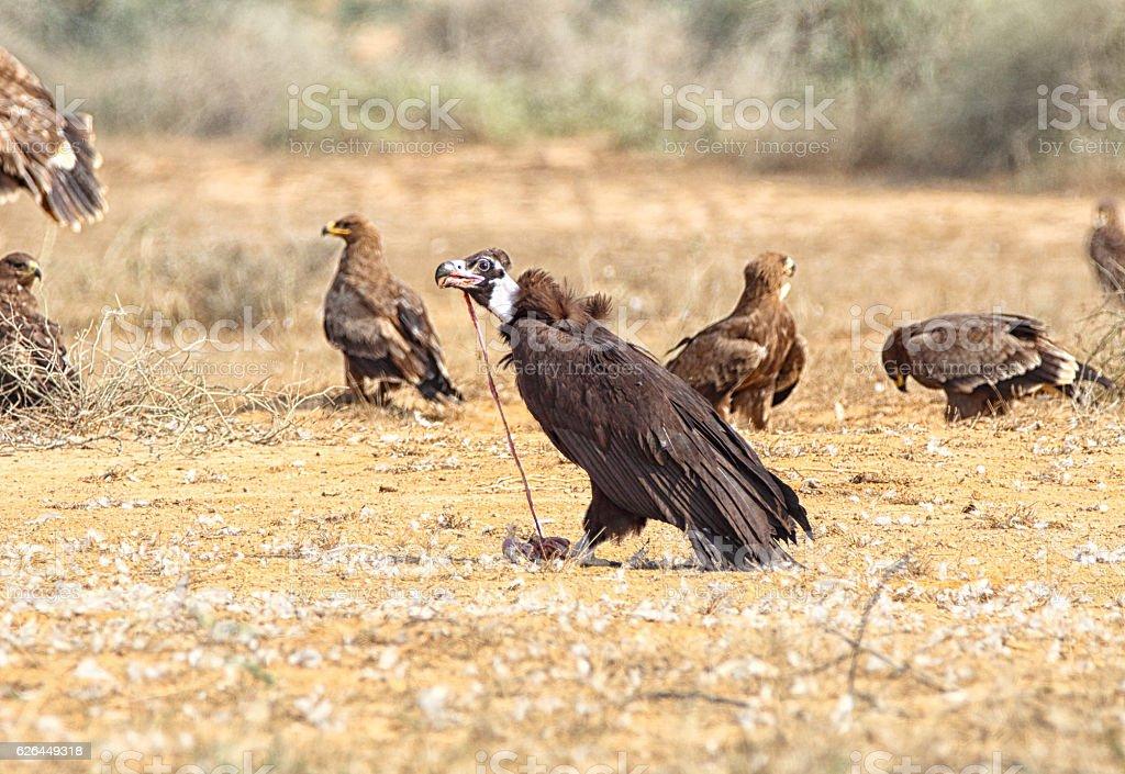 Cinerous Vulture scavenging stock photo