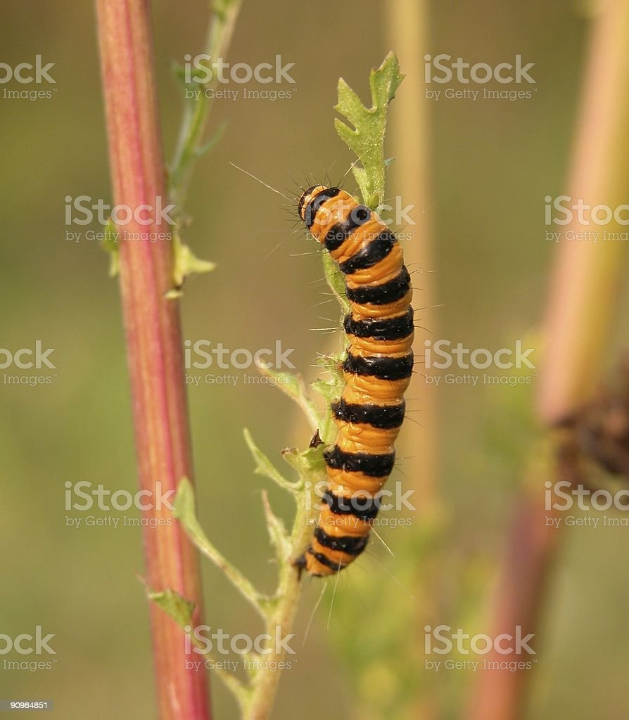 Cinnabar Caterpillar (Tyria jacobaeae) stock photo