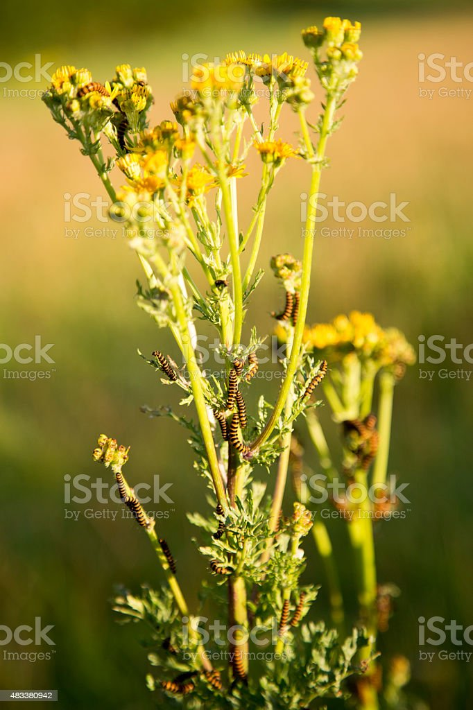 cinnabar caterpillars consuming ragwort stock photo