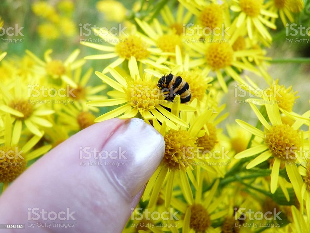 cinnabar feeding pointed stock photo