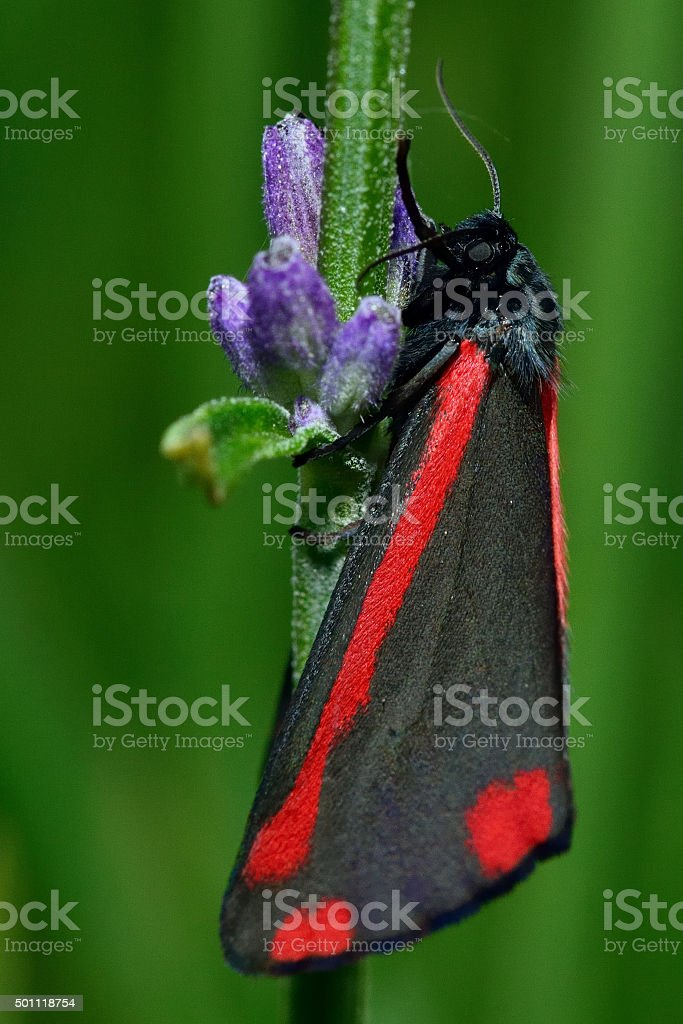 Cinnabar moth (Tyria jacobaeae) at rest on lavender stem stock photo