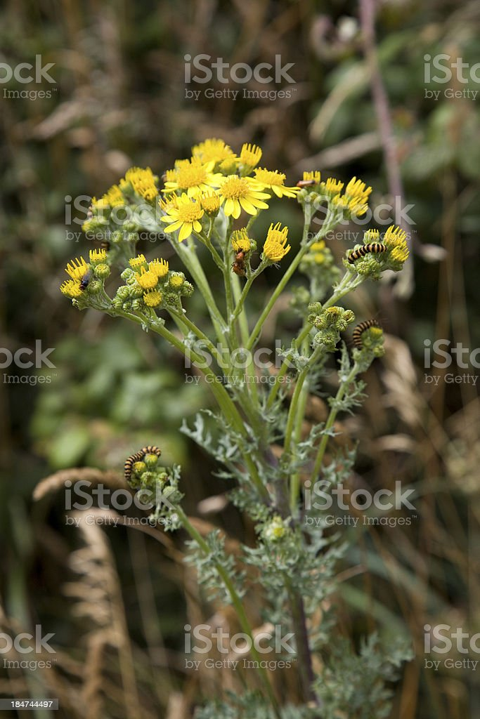 cinnabar moth caterpillar and beatles feeding on ragwort stock photo