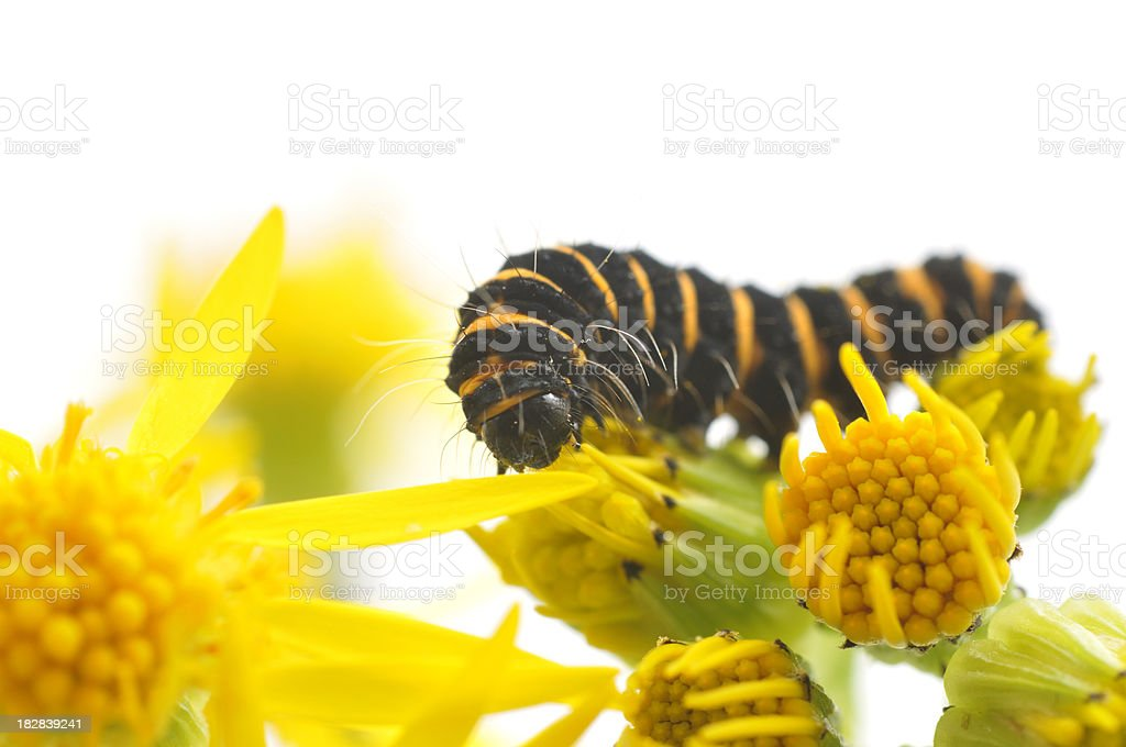 Cinnabar Moth Caterpillar having lunch stock photo