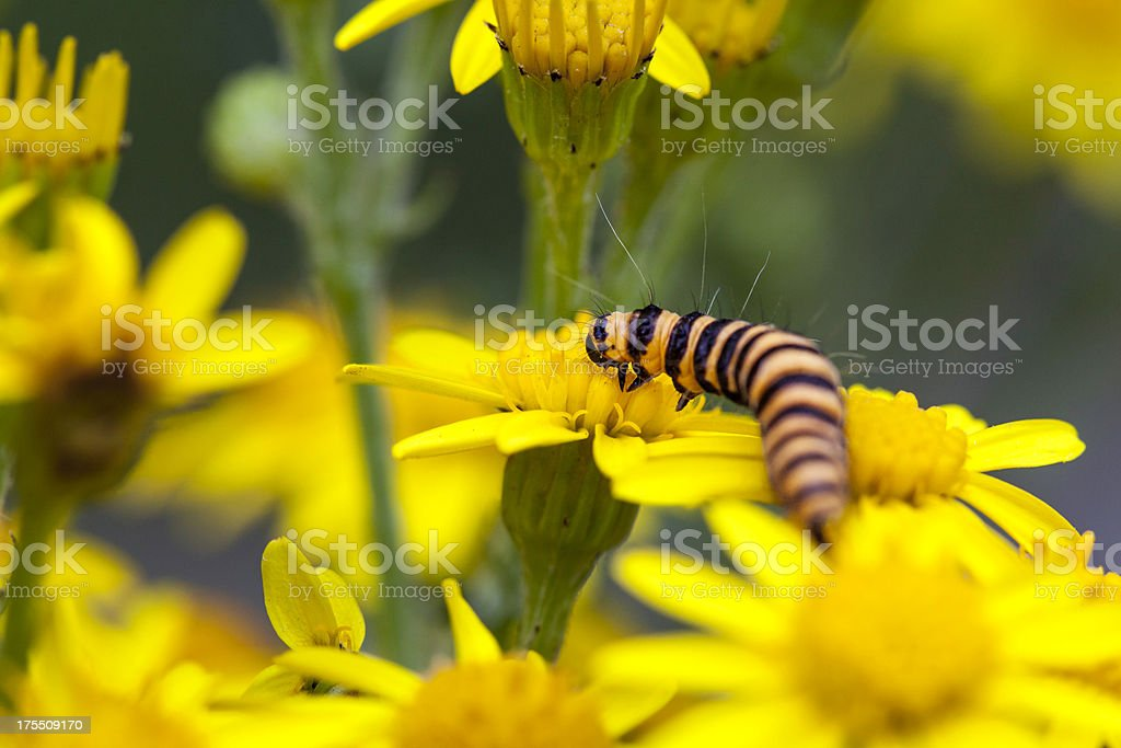 Cinnabar Moth Caterpillar on Tansy Ragwort stock photo