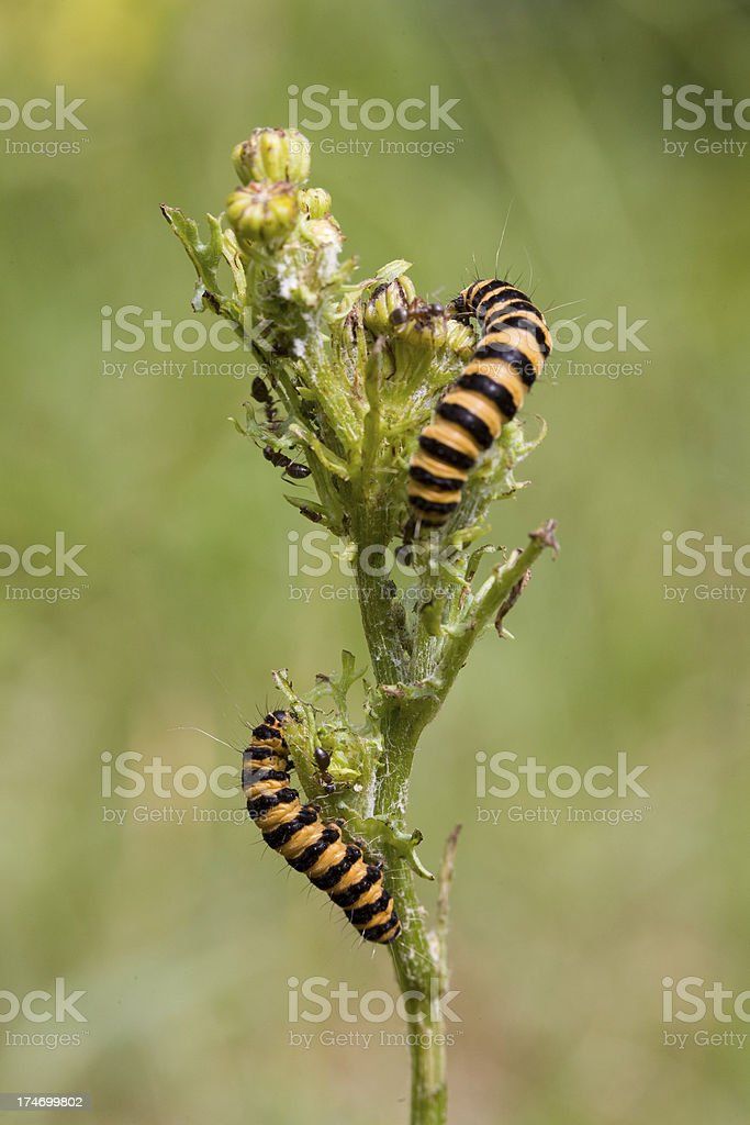 Cinnabar moth caterpillar stock photo