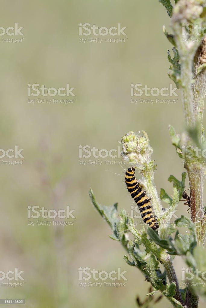Cinnabar Moth (Tyria jacobaea) Caterpillar royalty-free stock photo