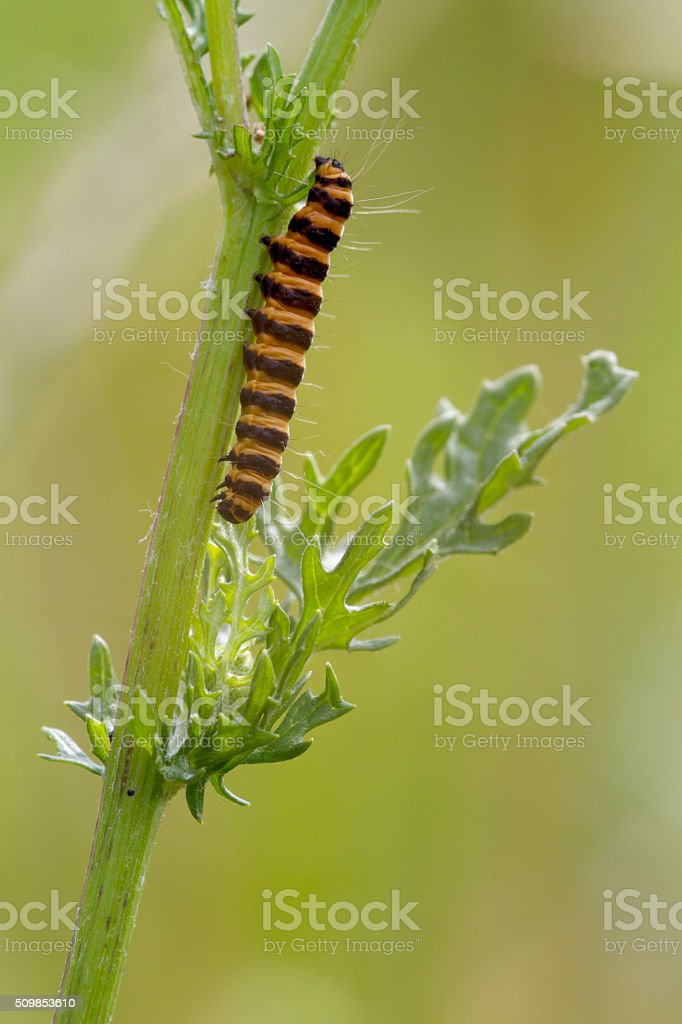 Cinnabar Moth (Tyria jacobaea) Caterpillar stock photo