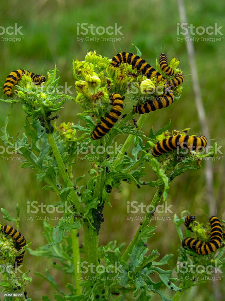 Cinnabar moth caterpillars on Common Ragwort stock photo