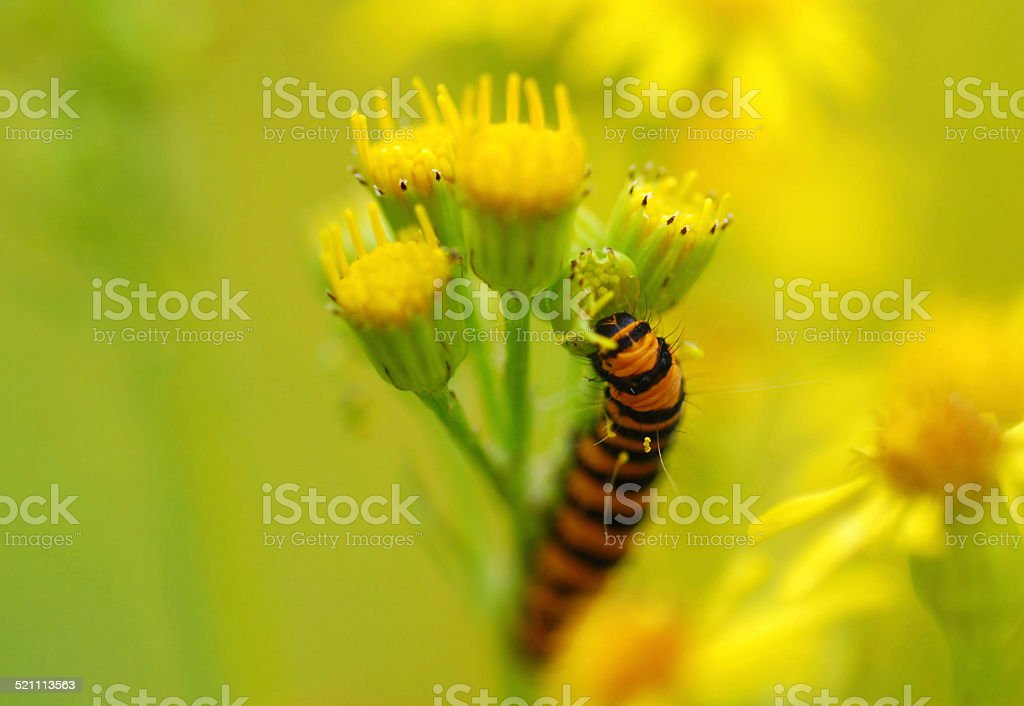 Cinnabar Moth eating from Ragwort stock photo