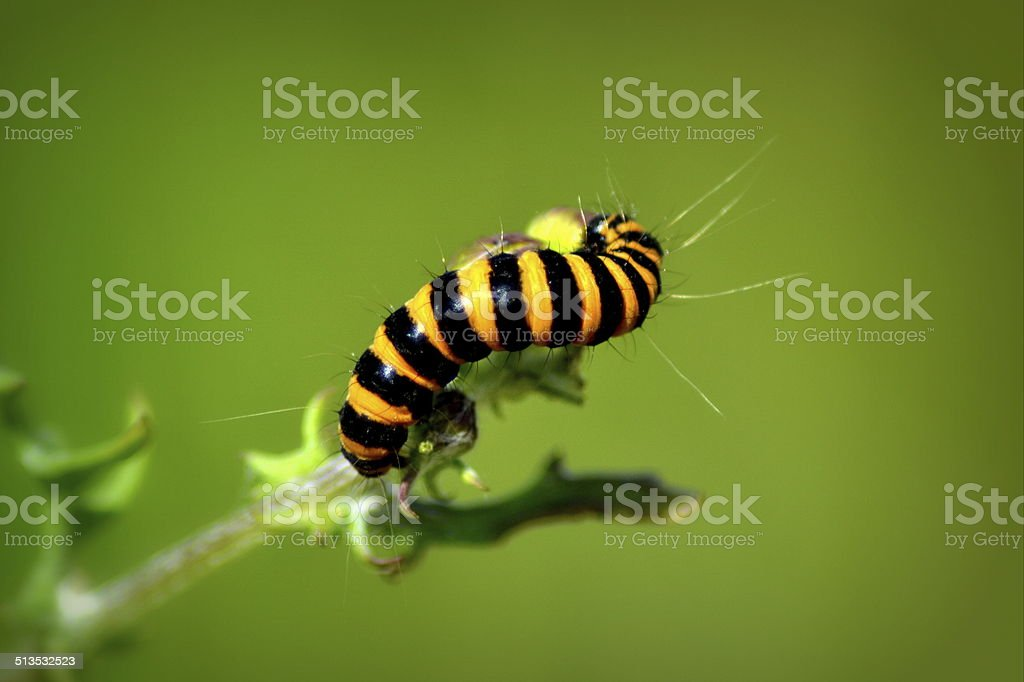 Cinnabar moth larvae. stock photo