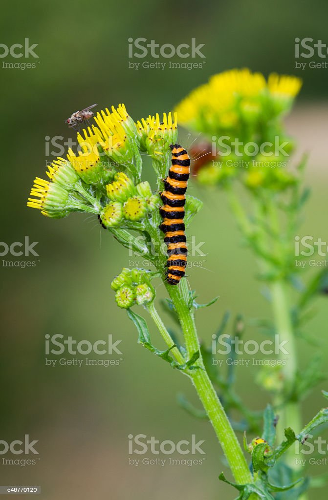 Cinnabar moth on Cushag stock photo