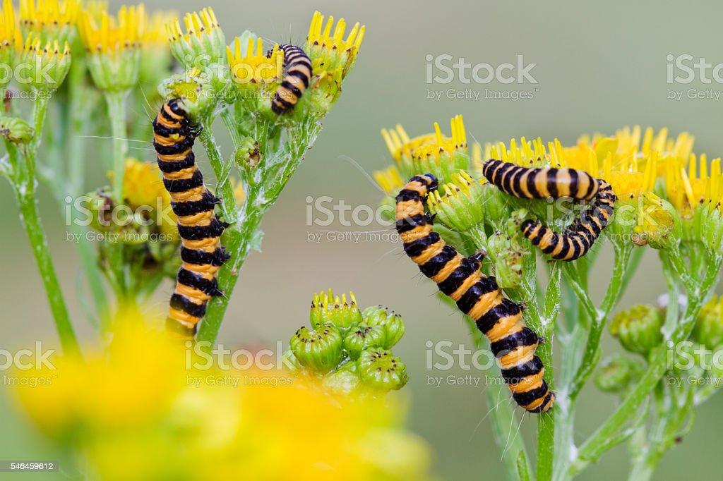 Cinnabar moth on Ragwort stock photo