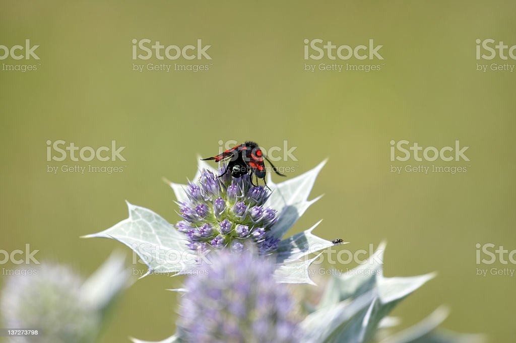 Cinnabar moth on sea holly stock photo
