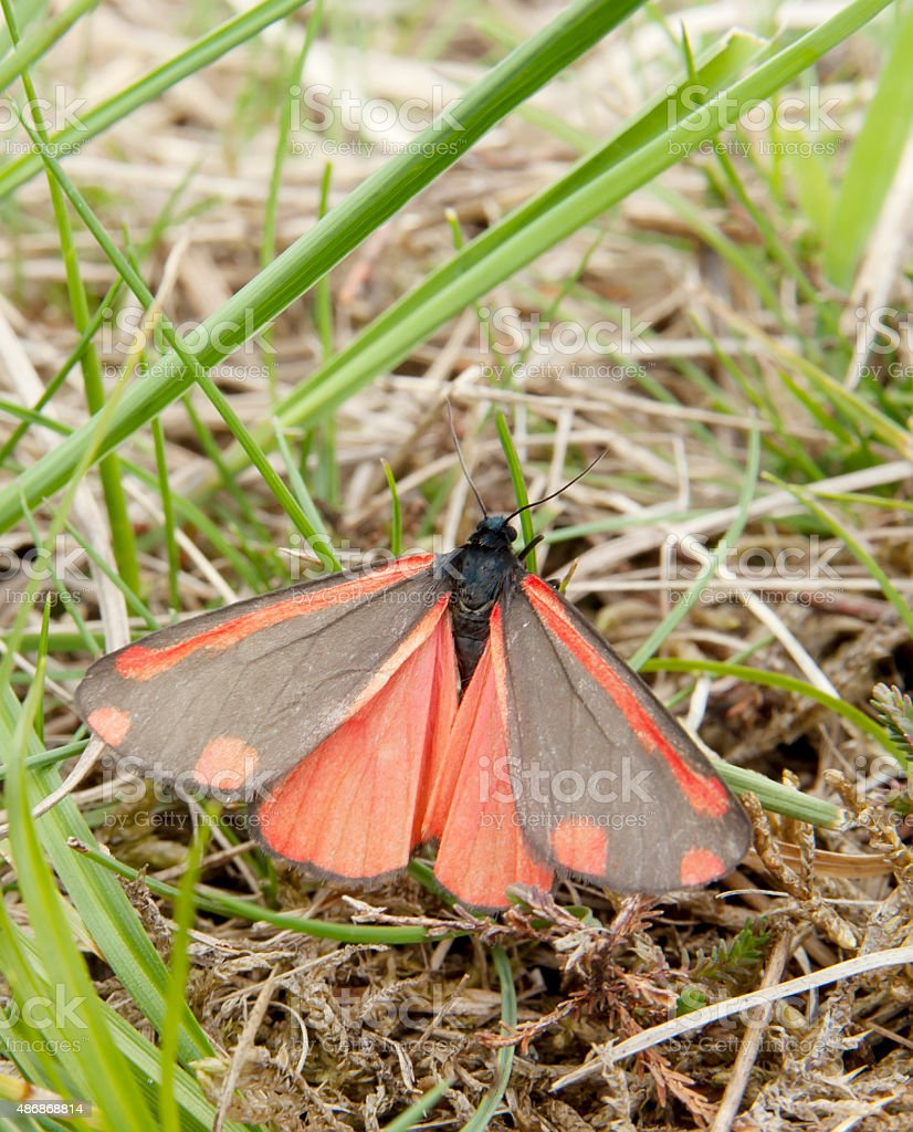 Cinnabar Moth (Tyria jacobaea) stock photo