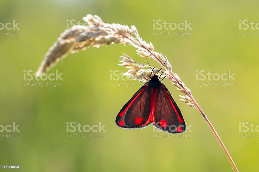 Cinnabar moth (Tyria jacobaeae) stock photo