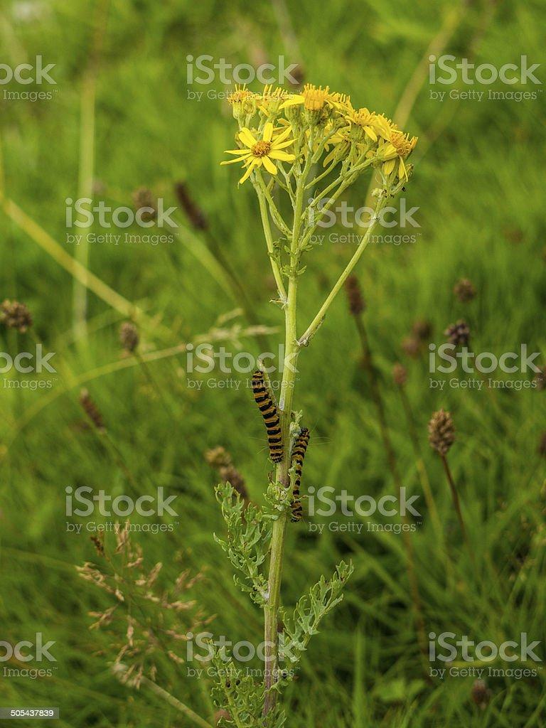 Cinnabar Moth - Tyria jacobaeae - Caterpillars on Ragwort royalty-free stock photo