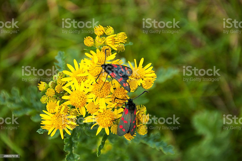 Cinnabar moths on ragwort stock photo