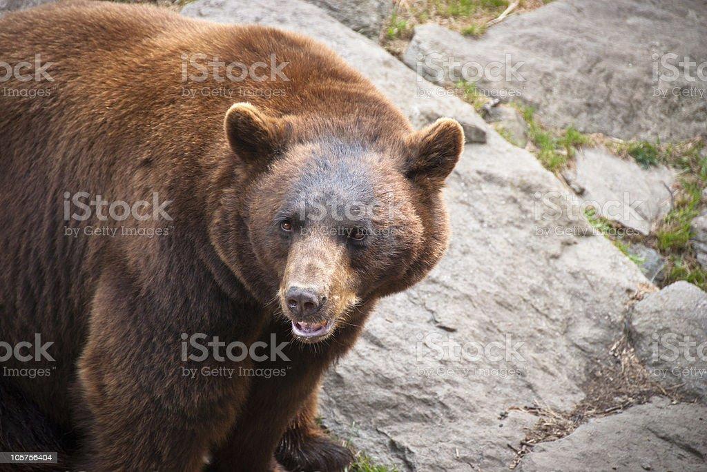 Cinnamon Black Bear Wildlife in North Carolina Mountains royalty-free stock photo