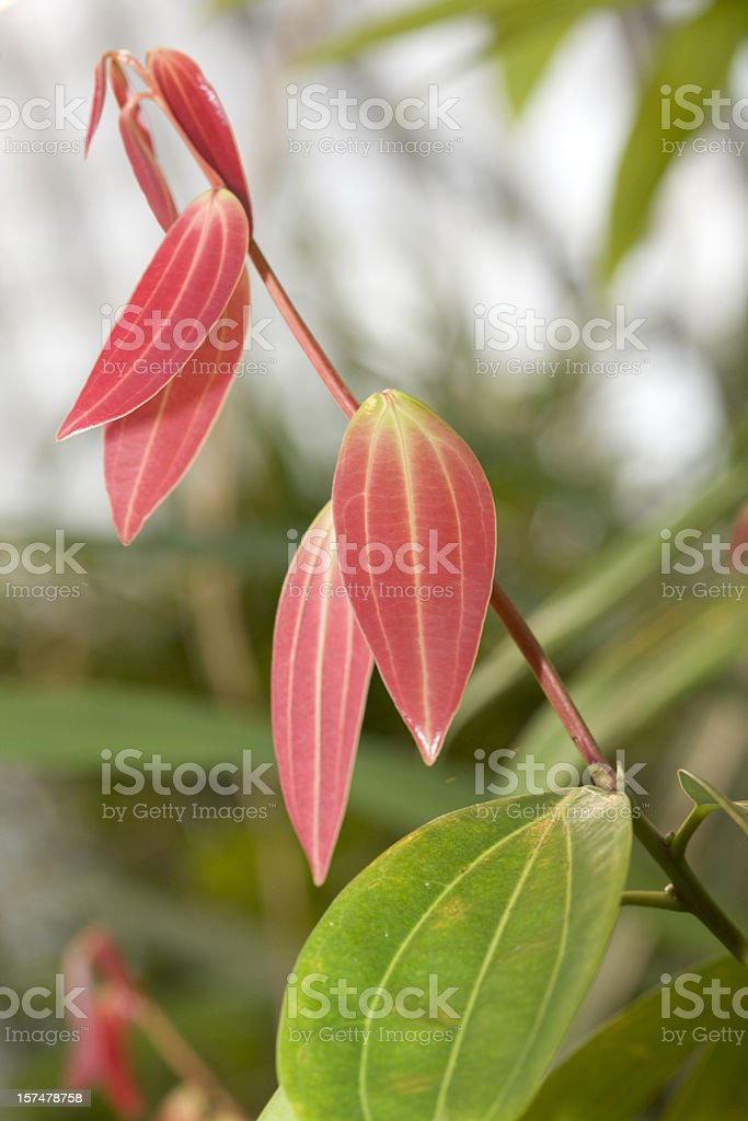 Cinnamon (Cinnamomum verum) stock photo