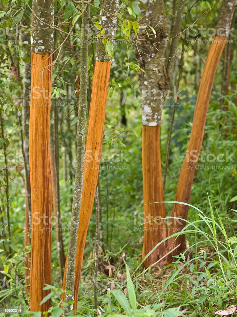 cinnamon trees stock photo