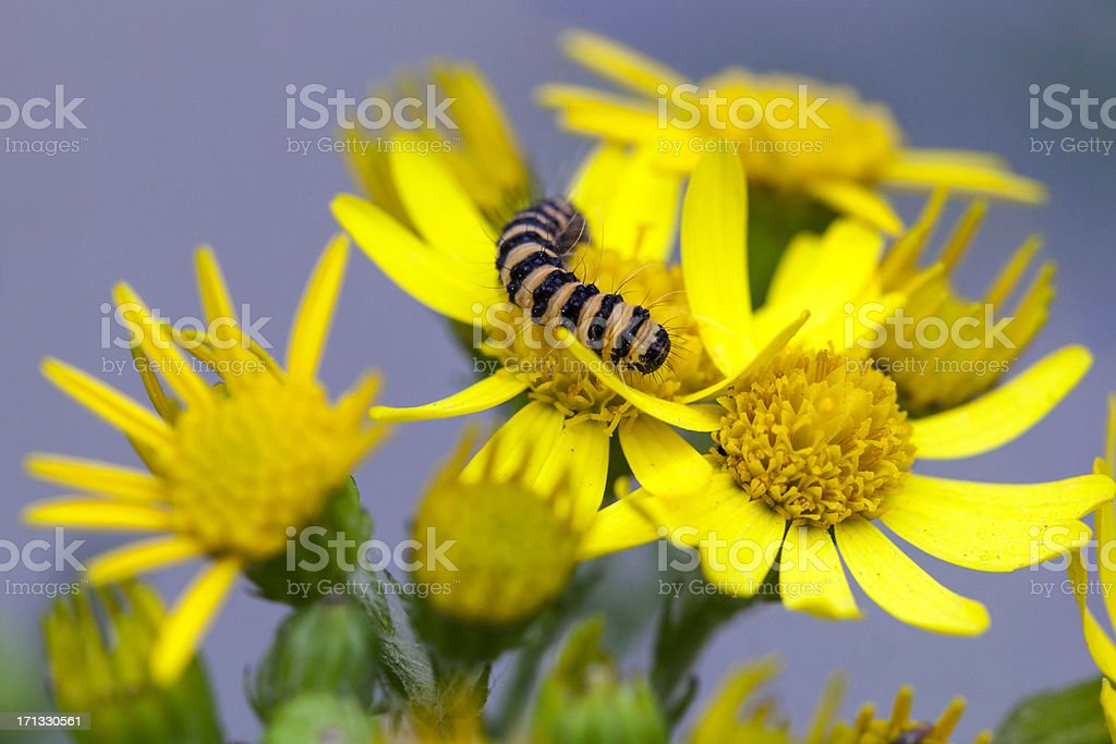 Cinnebar Moth Caterpillar on Tansy Ragwort stock photo