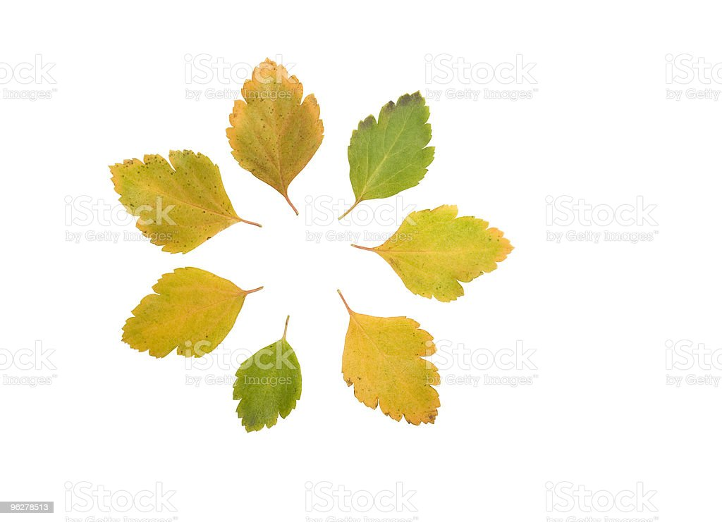 Circle made with green and yellow  leaves of hawthorn royalty-free stock photo