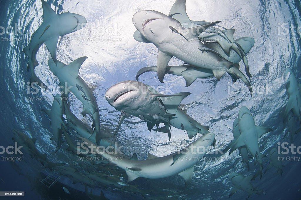 Circling sharks stock photo